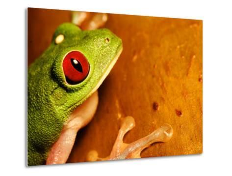 Red-Eyed Tree Frog, Close-up of Head and Front Feet, Costa Rica-Roy Toft-Metal Print