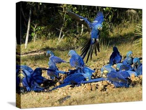 Hyacinth Macaws, Flock of Parrots Eating Brazil Nuts, Brazil-Roy Toft-Stretched Canvas Print