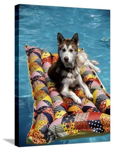 Dog Floating on Raft in Swimming Pool-Chris Minerva-Stretched Canvas Print