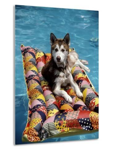 Dog Floating on Raft in Swimming Pool-Chris Minerva-Metal Print