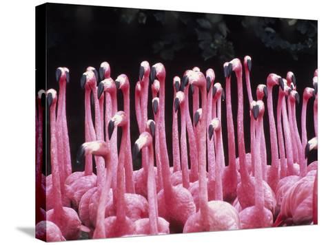 Flock of Flamingos-Pat Canova-Stretched Canvas Print