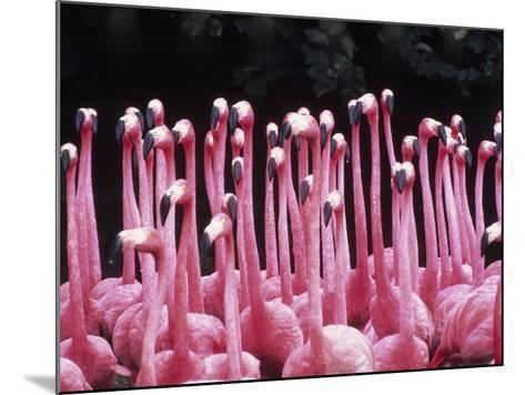 Flock of Flamingos-Pat Canova-Mounted Photographic Print
