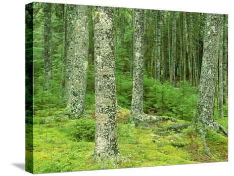 Moss Spruce Trees, Acadia National Park, Duck Brook, ME-Jim Schwabel-Stretched Canvas Print