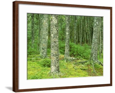 Moss Spruce Trees, Acadia National Park, Duck Brook, ME-Jim Schwabel-Framed Art Print