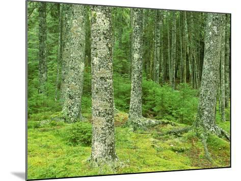 Moss Spruce Trees, Acadia National Park, Duck Brook, ME-Jim Schwabel-Mounted Photographic Print