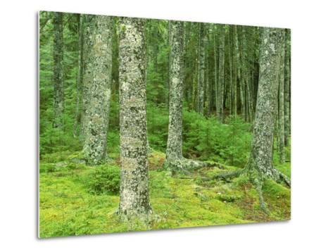 Moss Spruce Trees, Acadia National Park, Duck Brook, ME-Jim Schwabel-Metal Print