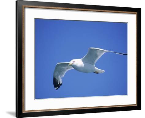 Seagull in Sky-Jim Schwabel-Framed Art Print