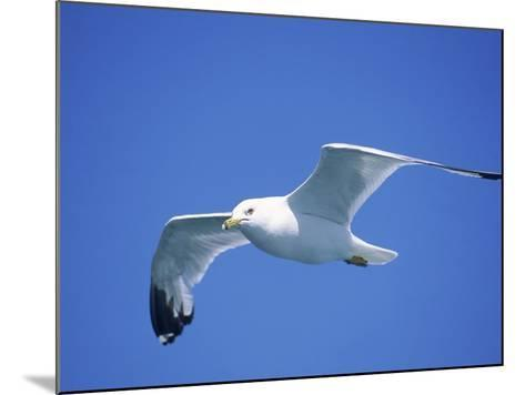 Seagull in Sky-Jim Schwabel-Mounted Photographic Print