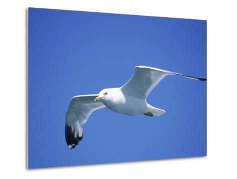 Seagull in Sky-Jim Schwabel-Metal Print