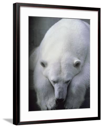 Polar Bear Lying Down-Stuart Westmorland-Framed Art Print