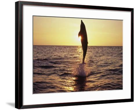 Dolphin Jumping from Water-Stuart Westmorland-Framed Art Print