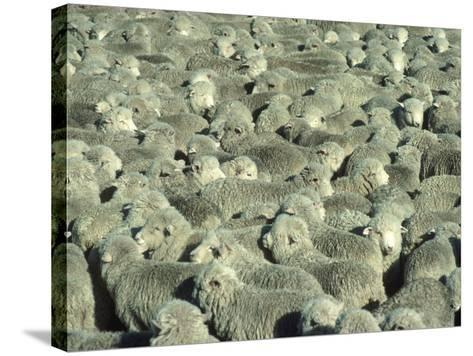Herd of Sheep-Mitch Diamond-Stretched Canvas Print