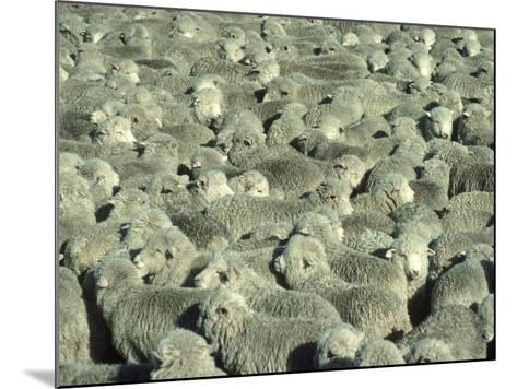 Herd of Sheep-Mitch Diamond-Mounted Photographic Print