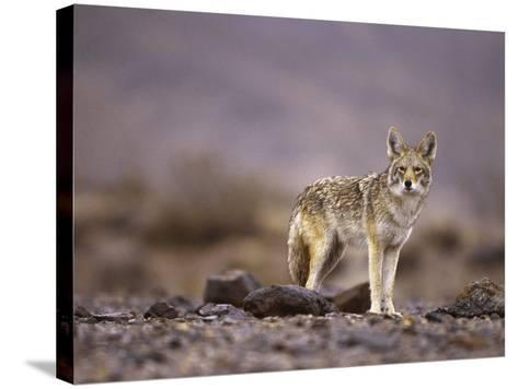 Coyote, Canis Latrans-Roger Holden-Stretched Canvas Print