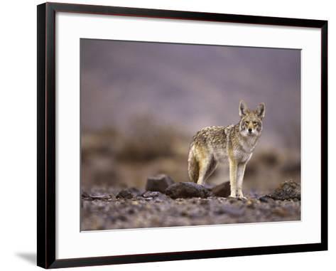 Coyote, Canis Latrans-Roger Holden-Framed Art Print