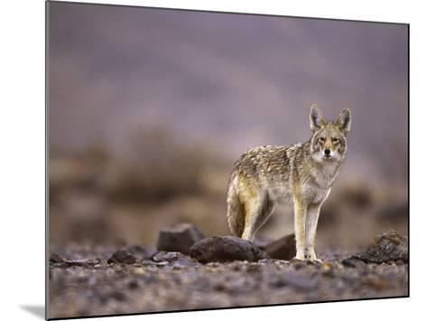 Coyote, Canis Latrans-Roger Holden-Mounted Photographic Print