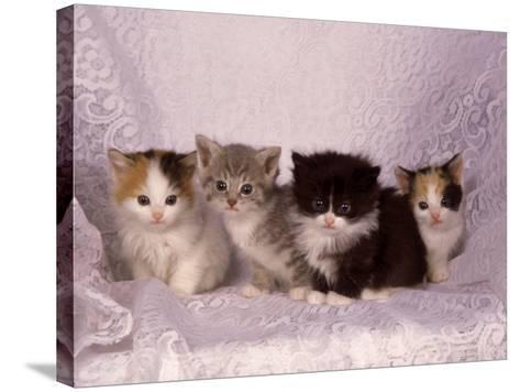 Kittens-Craig Witkowski-Stretched Canvas Print