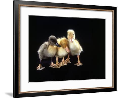 Three Baby Ducks Standing-Martin Folb-Framed Art Print