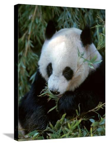 Giant Panda, Ailuropoda Melanoleuca-D^ Robert Franz-Stretched Canvas Print