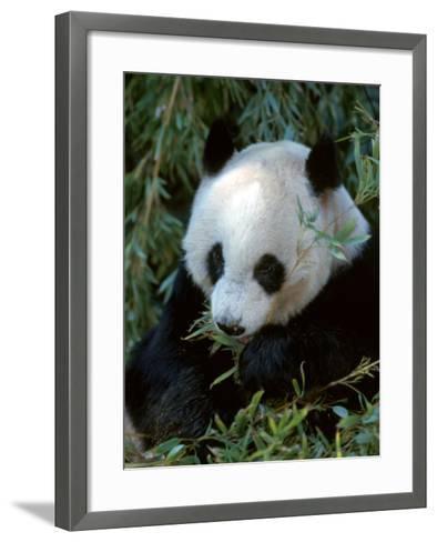 Giant Panda, Ailuropoda Melanoleuca-D^ Robert Franz-Framed Art Print