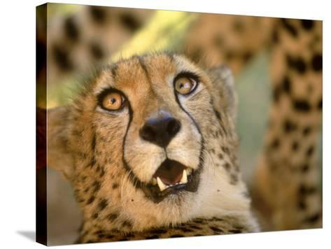 Cheetah, Cango Wildlife Ranch, Oudtshoorn, South Africa-Walter Bibikow-Stretched Canvas Print