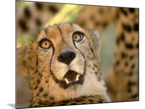 Cheetah, Cango Wildlife Ranch, Oudtshoorn, South Africa-Walter Bibikow-Mounted Photographic Print