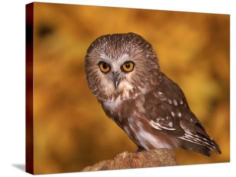 Saw-Whet Owl on Tree Stump-Russell Burden-Stretched Canvas Print