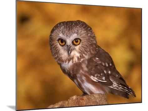 Saw-Whet Owl on Tree Stump-Russell Burden-Mounted Photographic Print