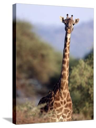 Masai Giraffe, Tarangire National Park, Tanzania-D^ Robert Franz-Stretched Canvas Print