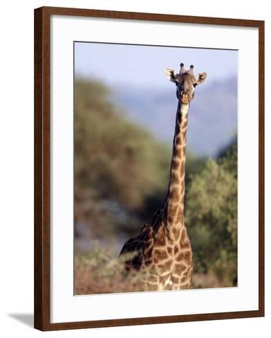 Masai Giraffe, Tarangire National Park, Tanzania-D^ Robert Franz-Framed Art Print