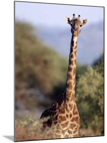 Masai Giraffe, Tarangire National Park, Tanzania-D^ Robert Franz-Mounted Photographic Print