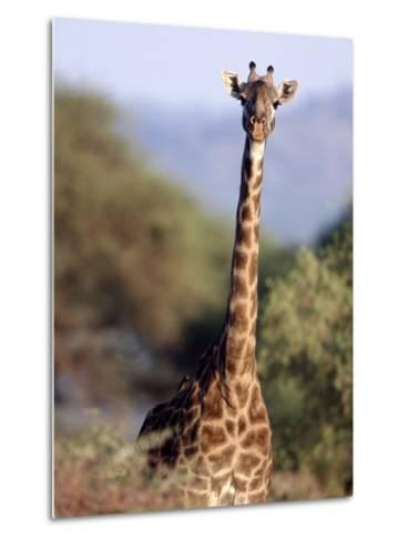 Masai Giraffe, Tarangire National Park, Tanzania-D^ Robert Franz-Metal Print