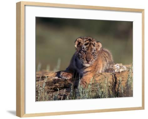 Siberian Tiger Cub, Panthera Tigris Altaica-D^ Robert Franz-Framed Art Print