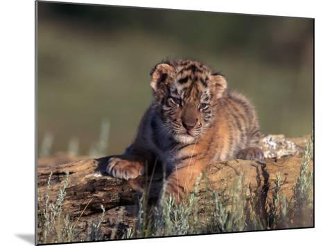 Siberian Tiger Cub, Panthera Tigris Altaica-D^ Robert Franz-Mounted Photographic Print