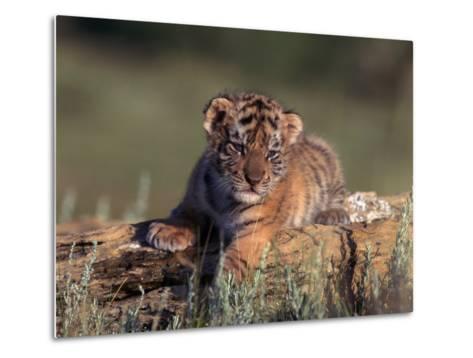 Siberian Tiger Cub, Panthera Tigris Altaica-D^ Robert Franz-Metal Print