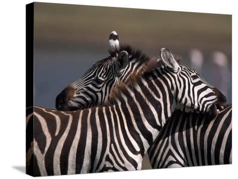 Burchell's Zebras, Equus Burchelli, Tanzania-D^ Robert Franz-Stretched Canvas Print