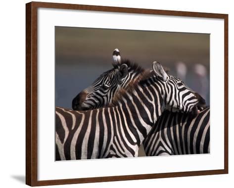 Burchell's Zebras, Equus Burchelli, Tanzania-D^ Robert Franz-Framed Art Print