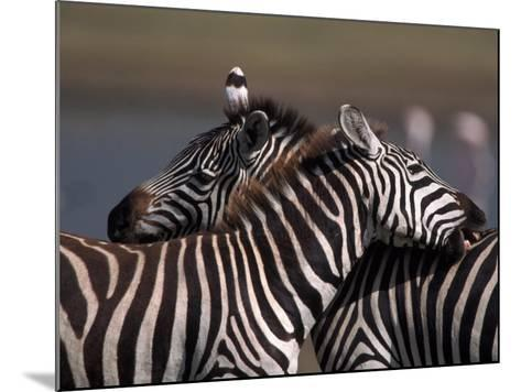 Burchell's Zebras, Equus Burchelli, Tanzania-D^ Robert Franz-Mounted Photographic Print