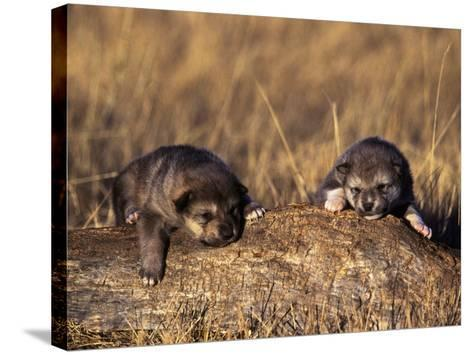 Wolf Pups Less Than 2 Weeks Old, Canis Lupus, CO-D^ Robert Franz-Stretched Canvas Print