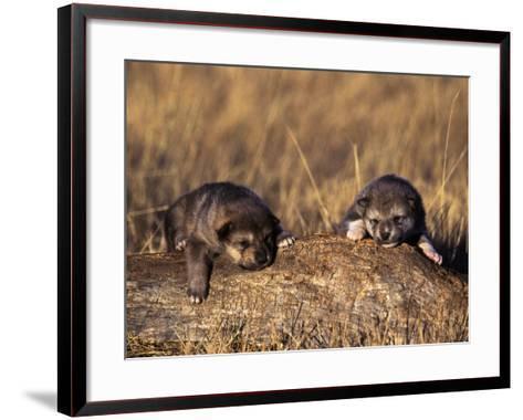 Wolf Pups Less Than 2 Weeks Old, Canis Lupus, CO-D^ Robert Franz-Framed Art Print