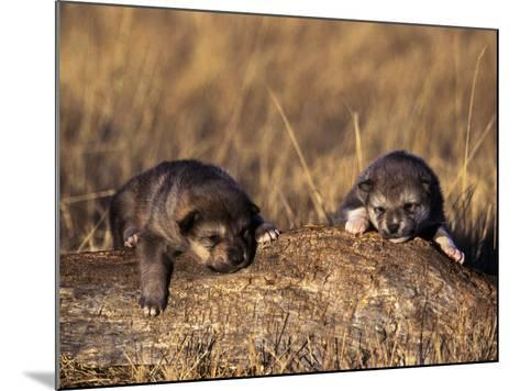Wolf Pups Less Than 2 Weeks Old, Canis Lupus, CO-D^ Robert Franz-Mounted Photographic Print