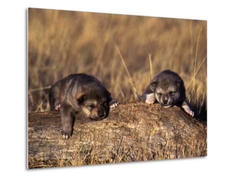 Wolf Pups Less Than 2 Weeks Old, Canis Lupus, CO-D^ Robert Franz-Metal Print