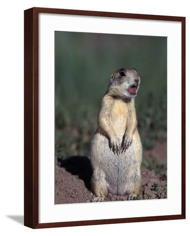 White-Tailed Prairie Dog, Cynomys Gunnsioni, CO-D^ Robert Franz-Framed Art Print