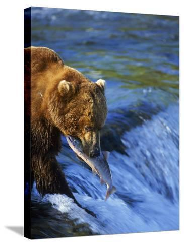 Grizzly Bear with Salmon, Brooks Falls, Katmai, AK-Kyle Krause-Stretched Canvas Print