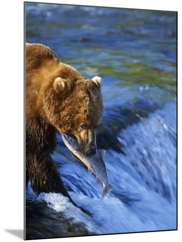Grizzly Bear with Salmon, Brooks Falls, Katmai, AK-Kyle Krause-Mounted Photographic Print
