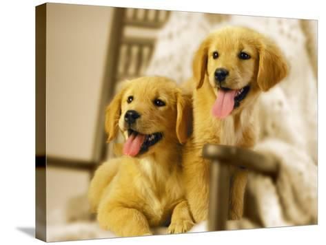 Two Golden Retriever Puppies Sitting in Chair-Jon Riley-Stretched Canvas Print