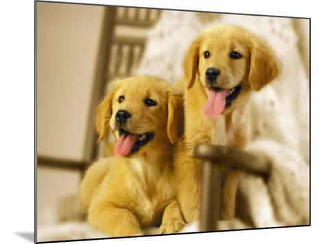 Two Golden Retriever Puppies Sitting in Chair-Jon Riley-Mounted Photographic Print