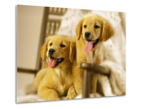 Two Golden Retriever Puppies Sitting in Chair-Jon Riley-Metal Print