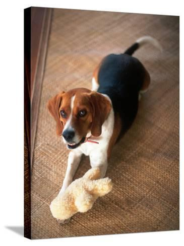 Beagle Dog with His Stuffed Animal-Lonnie Duka-Stretched Canvas Print