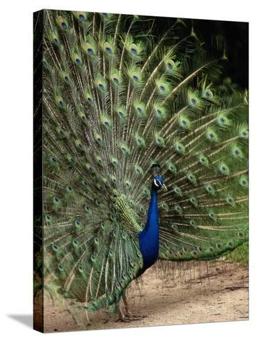Male Peacock-Jerry Koontz-Stretched Canvas Print